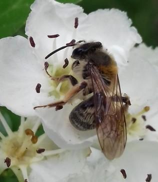 A.helvola