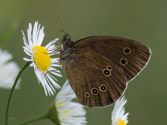 A.hyperanthus