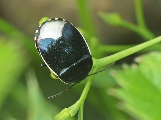 Canthophorus species