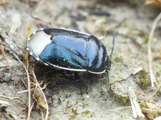 Canthophorus.