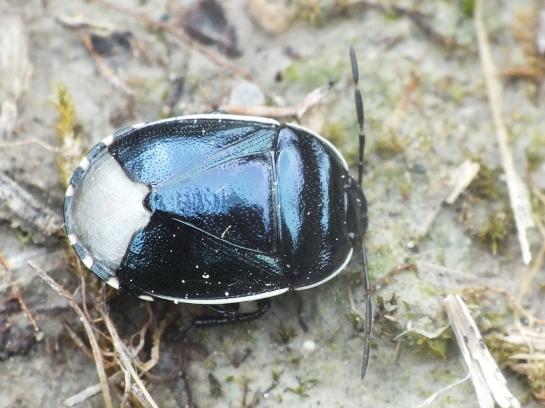 Canthophorus