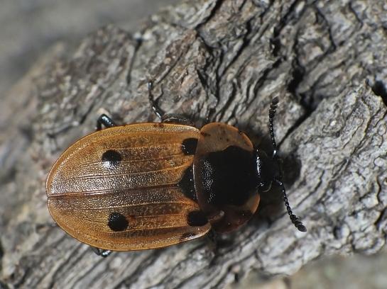 D.quadrimaculata