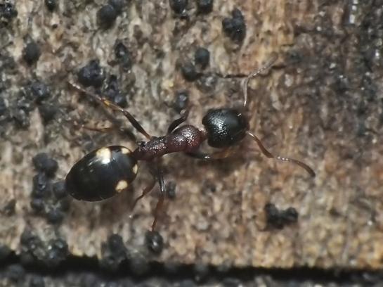 Dol.quadripunctatus