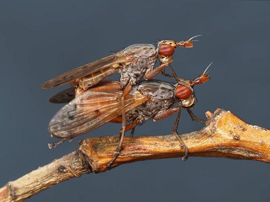 E.cucularia