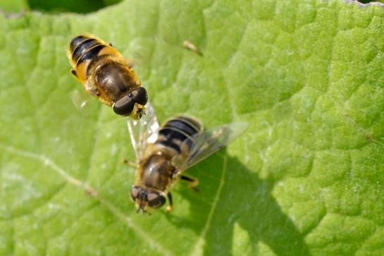 E.nemorum.
