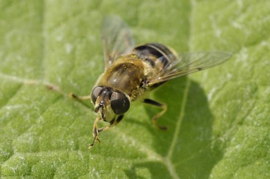 E.nemorum