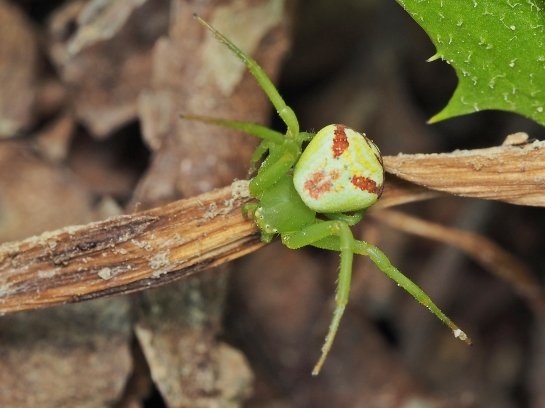 E.tricuspidata