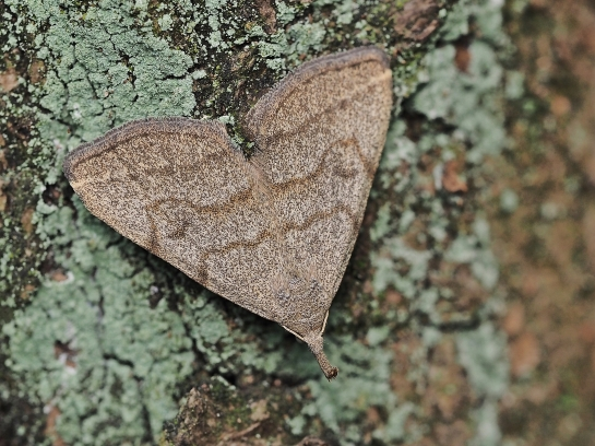H.tarsipennalis