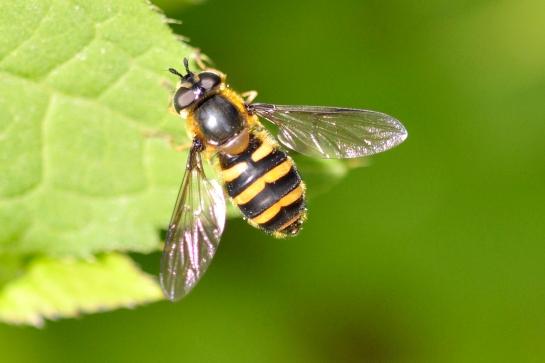 M.erraticus