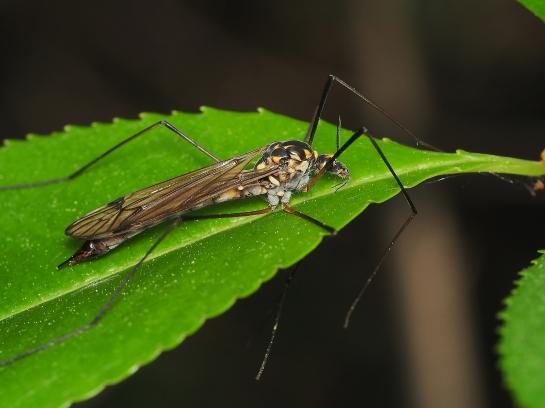 N.pratensis