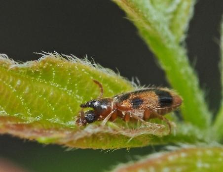 N.monocerus