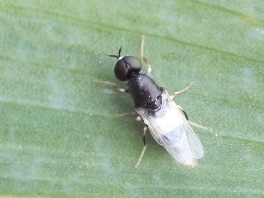 N.pantherinus