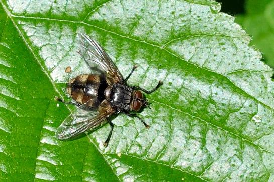 N.pellucida