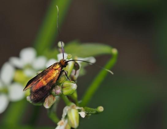 C.rufimitrella
