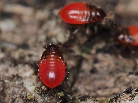 P.apterus 1st instar nymph
