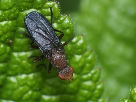 P.nigripennis