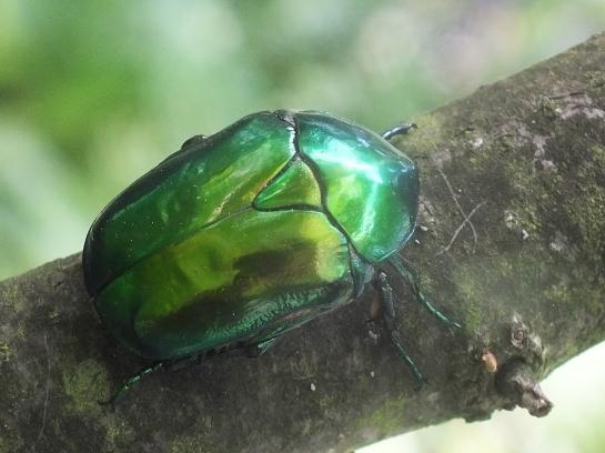 P.speciosissima.