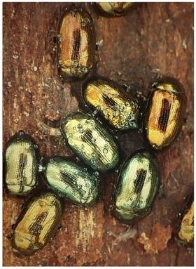 P.vitellinae