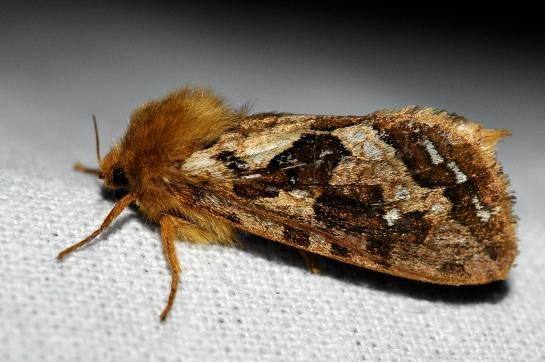 Ph.fusconebulosa