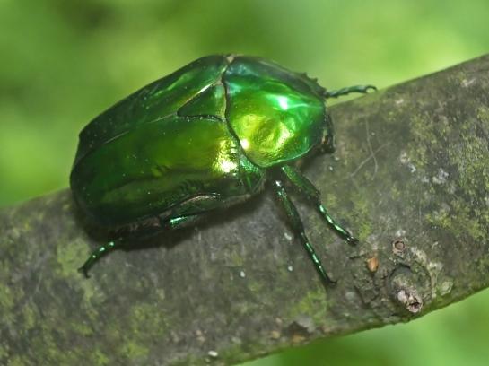 Pr.speciosissima