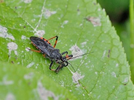 R.annulatus