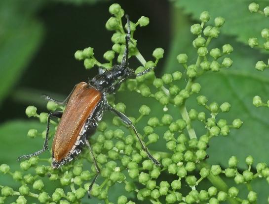 S quercus female