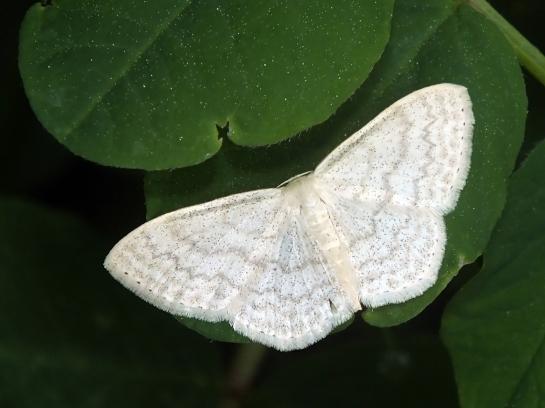 S.floslactata