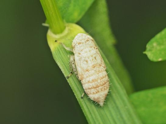 A.argentarius