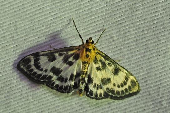 A.hortulata
