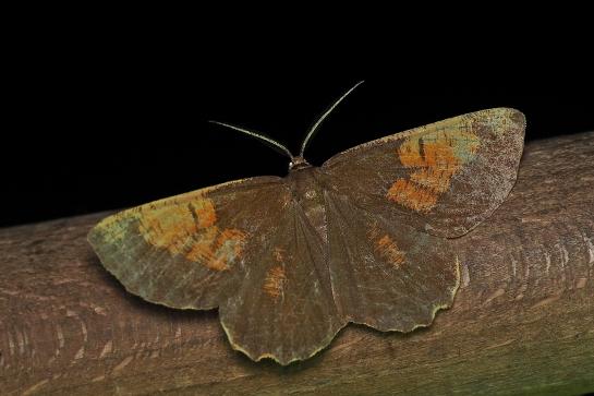 A.prunaria