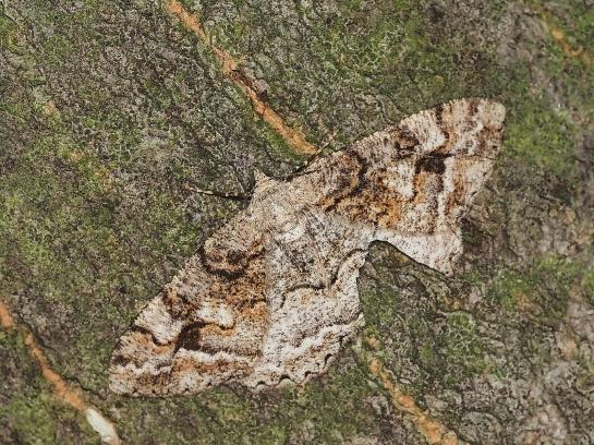 A.rependata