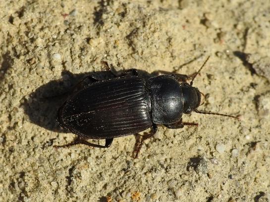 A.signatus