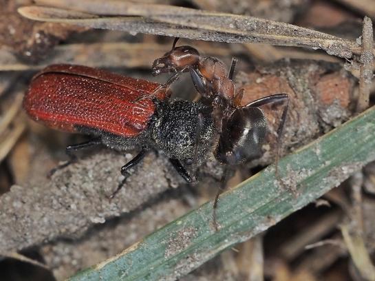 B.capucinus
