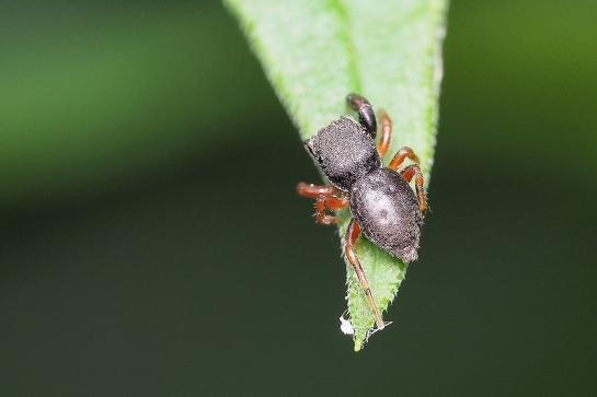 B.chalybeius