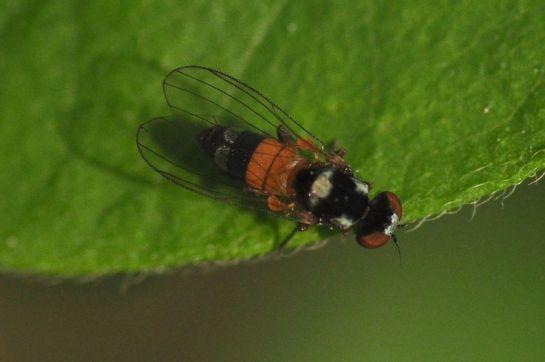 C.amoena
