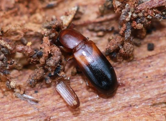 C.bicolor