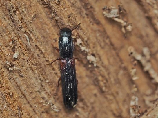 C.filiforme