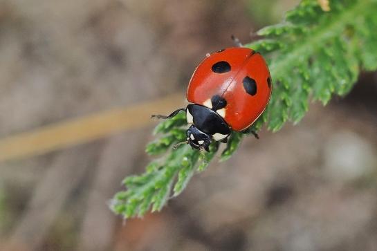 C.quinquepunctata