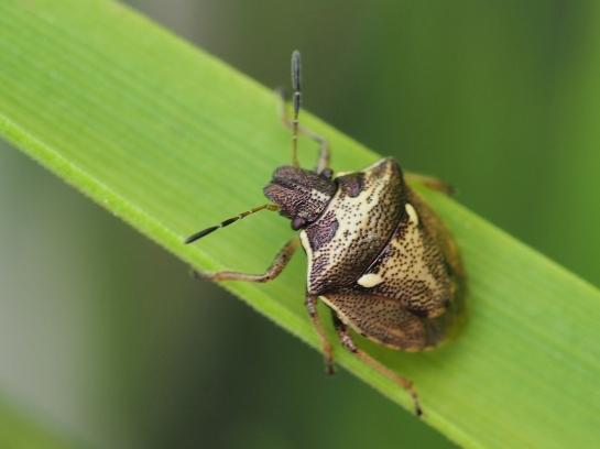 E.aeneus