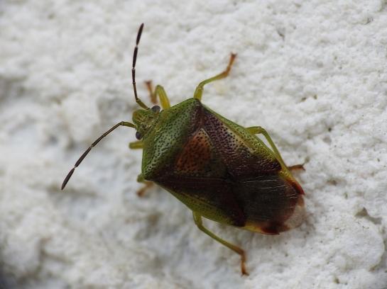 E.interstinctus