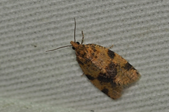E.grotiana