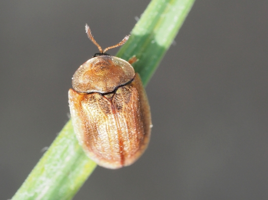 H.subferruginea