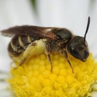 Halictidae - Smuklikowate