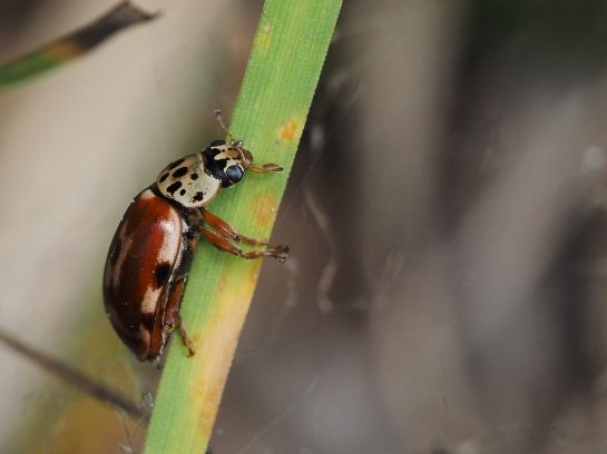 H.quadripunctata male