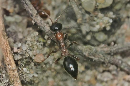 M articulata