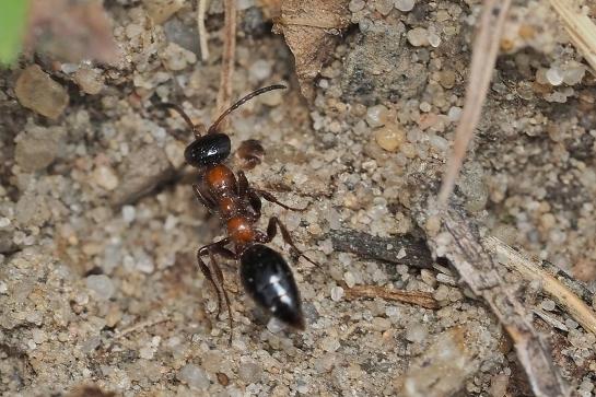 M.articulata