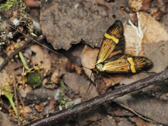 N.degeerella