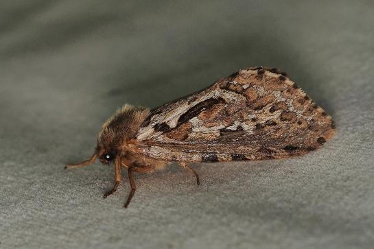 P.fusconebulosa
