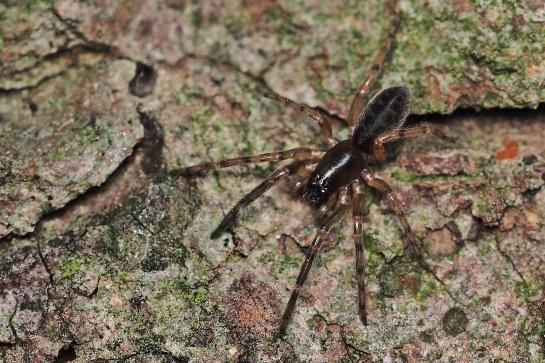 S.senoculata