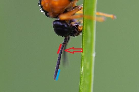 Selandria antennae